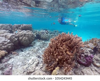 Woman snorkelling above healthy corals with tropical fish in Rarotonga, Cook Islands. Real people. Copy space