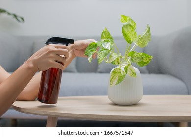 Woman is spraying Liquid fertilizer the foliar feeding on the golden pothos on the wooden table in the living room. The Epipremnum aureum in a ceramic vase on the table in the minimalist room style
