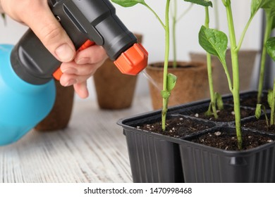 Woman spraying vegetable seedlings on wooden table, closeup