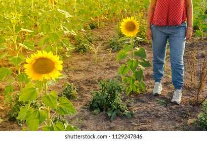 Woman standing in the middle of a field of sunflowers with nice natural light of sunset. Concept of solitude, peace or calm. Outdoor scene.