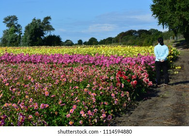 A woman standing next to a field of tulips in Holland