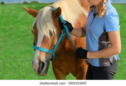 Woman is standing next to her draft red horse and fitting blue halter on its head. Conceptual theme of the domestication of animals.