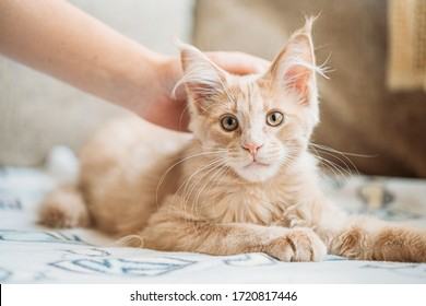 Woman Stroking Funny Curious Young Red Ginger Maine Coon Kitten Cat Sitting At Home Sofa. Coon Cat, Maine Cat, Maine Shag. Caress.