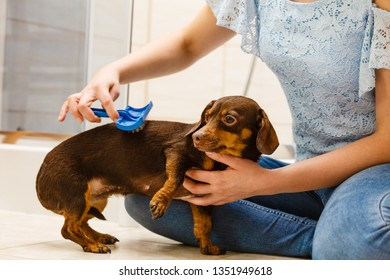 Woman taking care of her dachshund, combing puppy hair using dog brush.