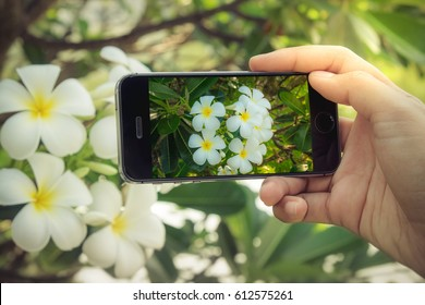 Woman taking a photo of Plumeria with smartphone