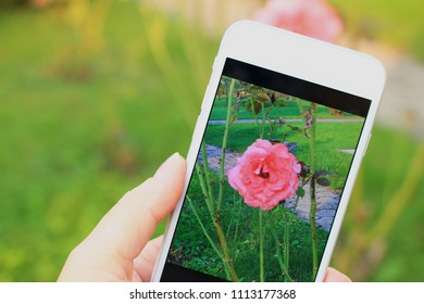 Woman taking photo of red rose