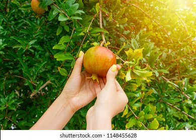 Woman taking a pomegranate fruit from a tree in sunny day.
