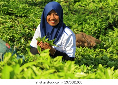 woman tea picker when harvesting tea leaves in the tea garden, Wonosobo/Central Java - Indonesia, 19 November 2018