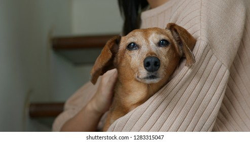 Woman touch on dachshund at home