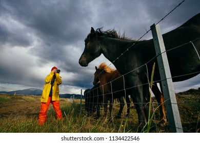 Woman tourist in bright clothes with beautiful horses , Iceland