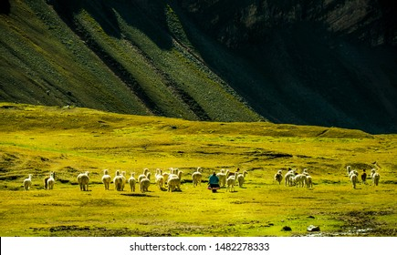 Woman in traditional clothing herding alpacas in mountains of Peru