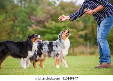 犬の訓練場で2匹のオーストラリアの羊飼い犬を連れた女性の訓練