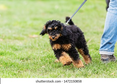 woman trains with a young poodle on a dog training field