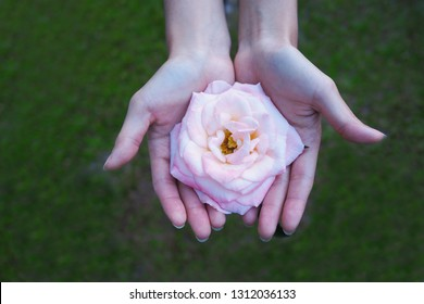 Woman two hands holding pink rose flower nature beautiful flowers, Valentines day, wedding or romantic love concept. top view