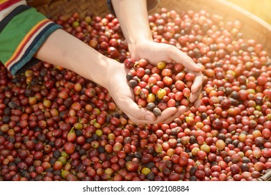 woman unidentified coffee farmer is harvesting coffee berries in the coffee farm, arabica coffee berries with agriculturist hands ,vintage style,Thailand