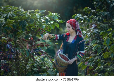 Woman unidentified coffee farmer is harvesting coffee berries in the coffee farm, Woman wearing traditional culture people ,vintage style,Thailand