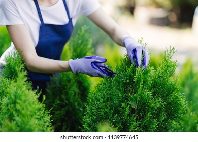 Woman uses gardening tool to trim hedge, cutting bushes with garden shears