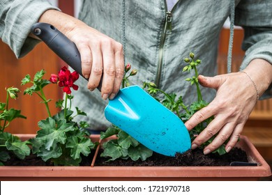 Woman is using shovel for planting geranium into flower pot. Gardener implant flowers in window box. Praparation of spring decoration