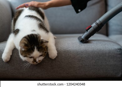 Woman using vacuum cleaner remove cat hair from a sofa.