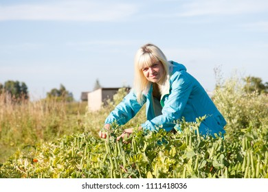 A woman in the vegetable garden a collecting pea