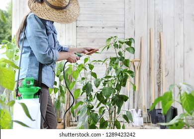 woman in vegetable garden spray pesticide on the leaves of plant, care of plants for growth concept