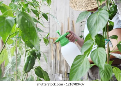 woman in vegetable garden sprays pesticide on leaf of plant, care of plants for growth concept