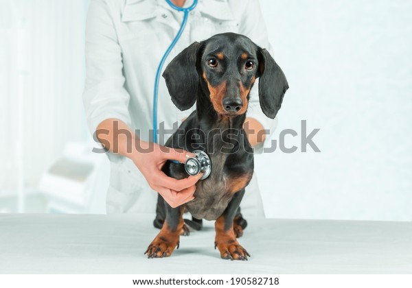 Woman veterinarian listens dachshund