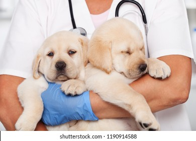 Woman veterinary healthcare professional holding two cute labrador puppies before examination - closeup