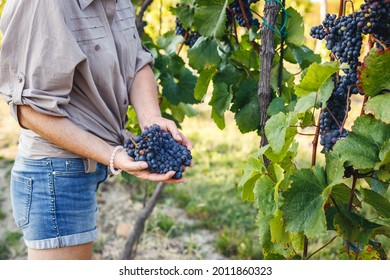 Woman vintner is holding red grapes in vineyard. Grapevine is ready for autumn harvesting. Winery agriculture concept