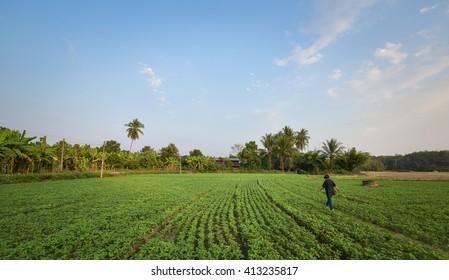 woman walk in the Sesame fields