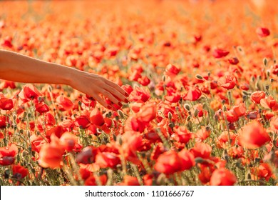 Woman walking in flower field and touching red poppies, view of female hand.