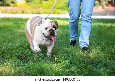 Woman walking her funny English bulldog in park, closeup
