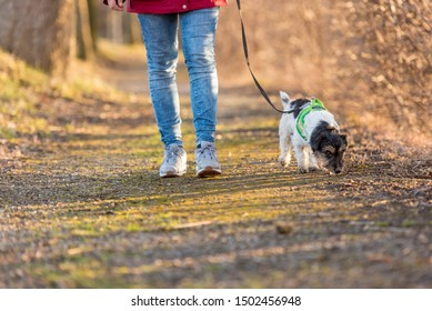 Woman is walking with a small obedient Jack Russell Terrier dog in the autumn forest