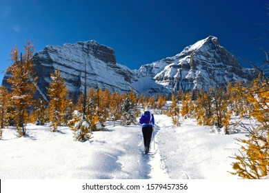 Woman walking snowshoeing in Canadian Rocky Mountains among golden larch trees. Early winter in Canadian Rockies. Alpine yellow larch forest. Banff National Park. Alberta. Canada