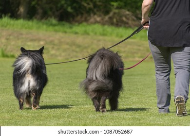 Woman walks on a leash on a meadow with two dogs