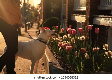A woman walks a white german shepherd at sunset. They stop to smell flowers.