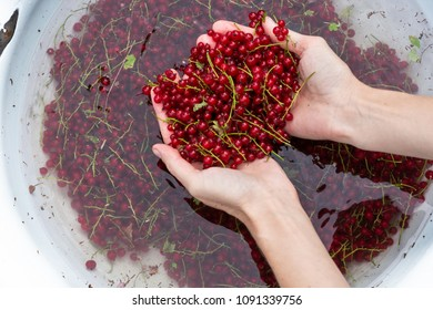 Woman washes picked  red currant berries, harvested  berries in a big bowl with water, fruit processing, preparation concept