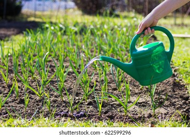 Woman watering cans garlic plant. Field of young garlic sprouts. Woman uses a plastic watering can.