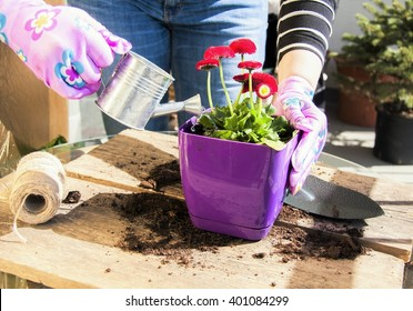 Woman watering her flowers with metal watering can in her small garden. Patio or terrace