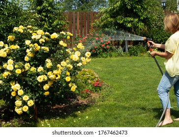 A woman is watering a large bush of yellow roses in the garden. Sprays water from a hose. The garden is filled with sunlight.