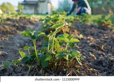 Woman weeding the strawberry beds  in the garden in country at springtime