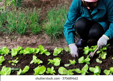 Woman weeds lettuce in her garden