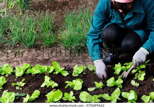Woman weeds lettuce in her garden