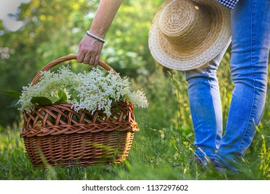 Woman with wicker basket is harvesting elderberry flower, woman picking basket from ground, healthy lifestyle