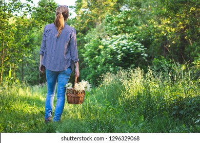 Woman with wicker basket is harvesting elderberry flower. Young woman collect herbs in nature.