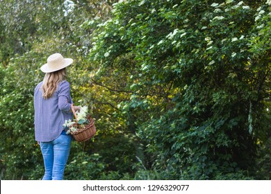 Woman with wicker basket and straw hat is harvesting elderflower for alternative medicine. Collect elderflower in nature.