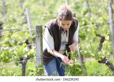 Woman winegrower working in vineyard