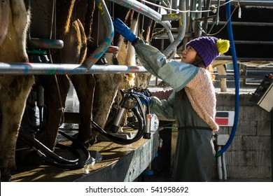 Woman working with Automated mechanized milking equipment in New Zealand dairy