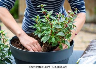 Woman working outside in a garden planting young flower plants in a planter. Woman's hands plant out flowering plant. Replanting / putting plants in grey container pot