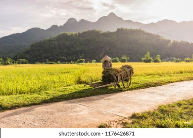 Woman working in the rice fields near Lac Village, Mai Chau valley, Vietnam. Beautiful fall afternoon during harvest time, wooden cart in the foreground. Cultivated grain growing in flooded fields.